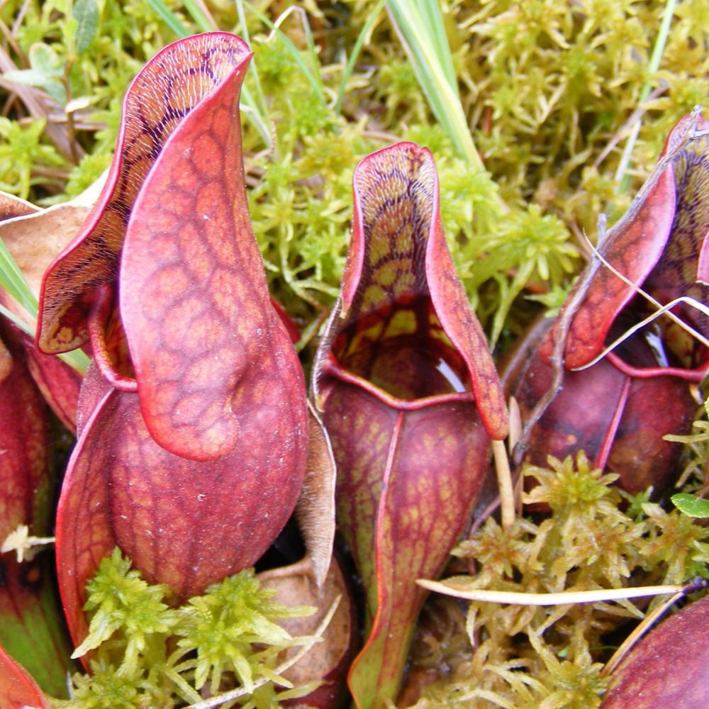 plante carnivore des tourbieres